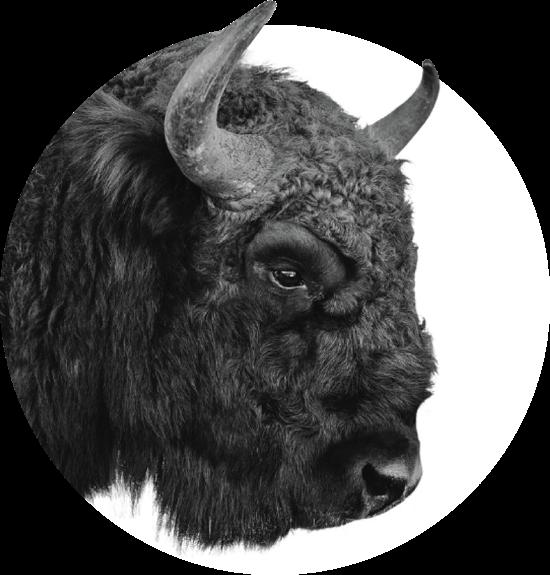 bison.37732006